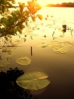 waterlily sunset